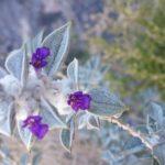 Death Valley Sage in bloom