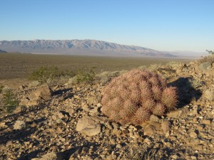 Cottontop cactus in Silurian Valley