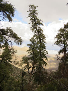 white fir 4