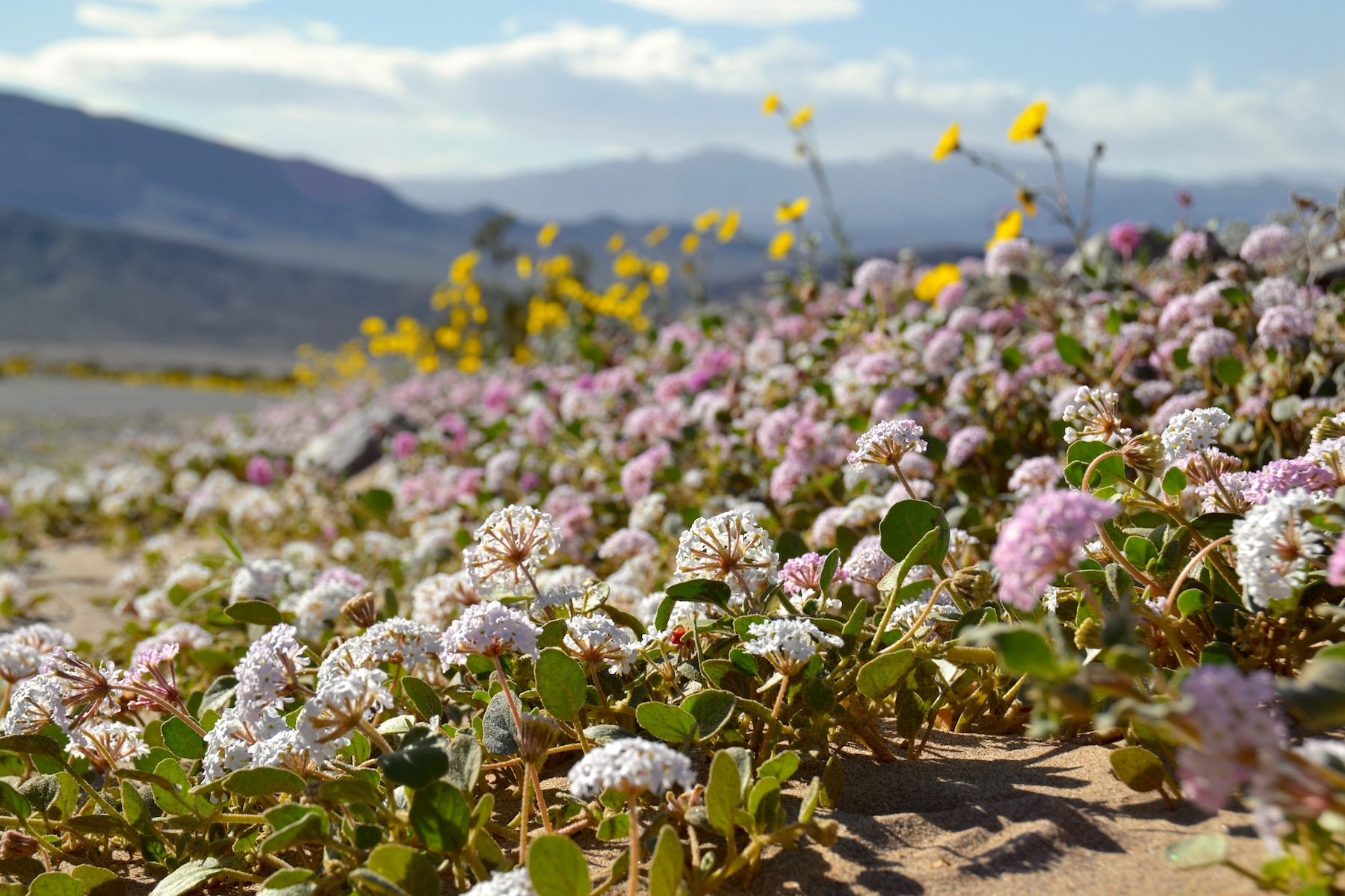 2016 Desert Wildflower Update 1