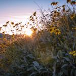 Encelia farinosa Brittlebrush by Julie Vargo Amargosa Conservancy