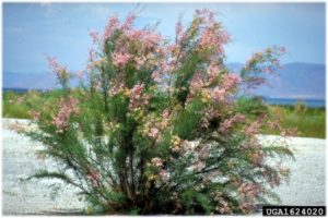 Saltcedar (Tamarisk ramosissima)
