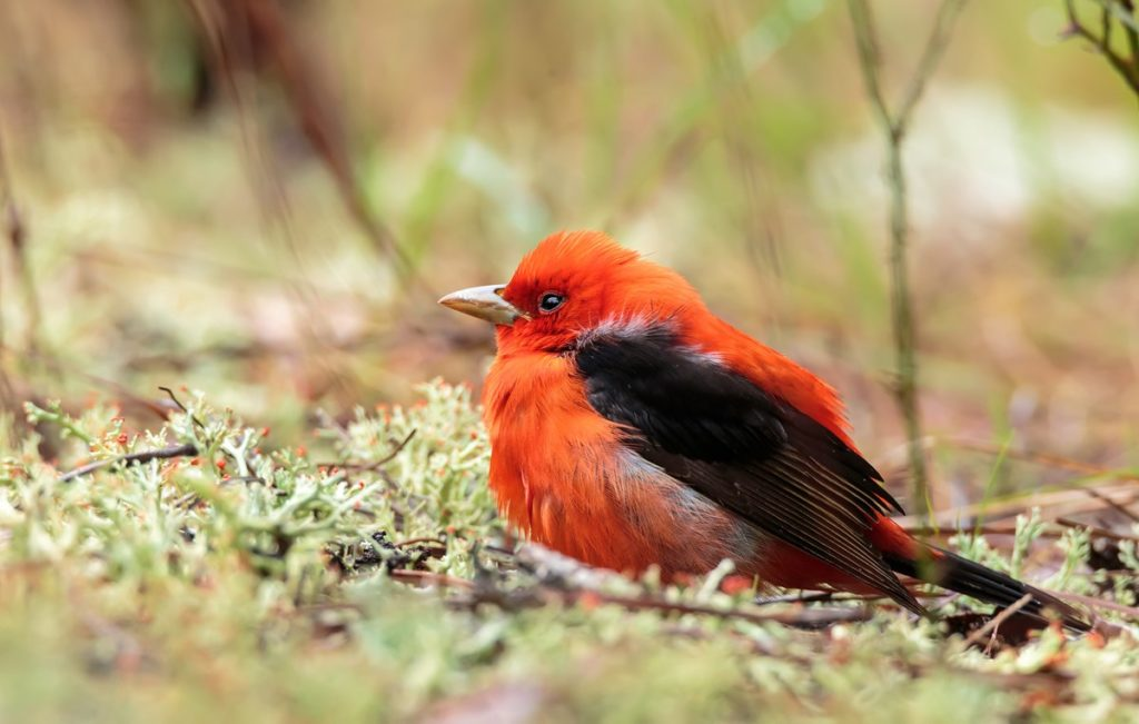 Scarlett Tanager by Neil Lewis NPS