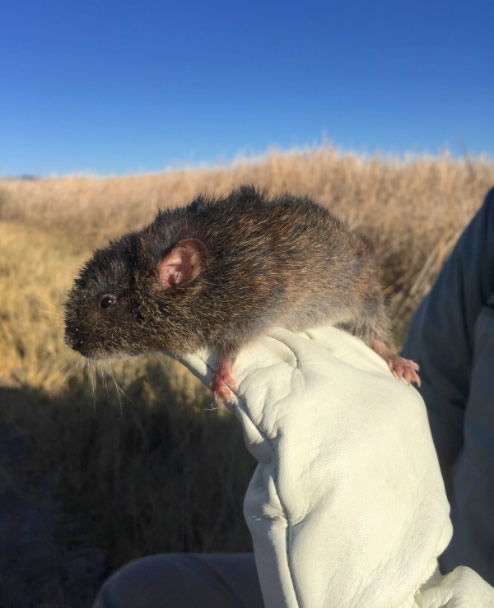 Amargosa Vole being released